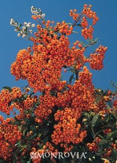 Close Up :: Credit: Monrovia  Kasan Pyracantha  Pyracantha coccinea 'Kasan'    « start a new plant search  Beautiful evergreen shrub producing an abundance of orange-red berries in the fall. Terrific source of fall through winter color. Use as barrier hedge or train as espalier.    Ornamental Berries  Evergreen  Cold hardiness zones:	5 - 9  Light:	Full sun  Water:	Once established, needs only occasional watering.  Fast grower to 8 to 10 ft. tall, 6 to 8 ft. wide.