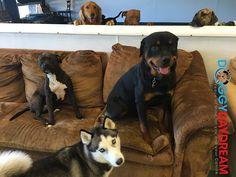 #doggydaydream #doggydaycare #dogs #dogsofinstagram #dogstagram #instadog #husky #pitbull #goldenretriever #rottweiler #brindle #mix #labrador