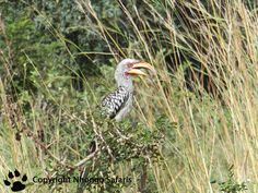 Southern Yellow-billed Hornbill Kruger National Park, National Parks, View Photos, Bald Eagle, Safari, Southern, Yellow, Animals, Animales