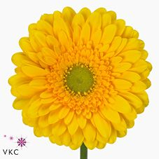 Gerbera Submarine is a pretty Yellow cut flower.