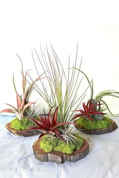 USDA Prohibits Live Plants to: CA. On average the wood base is between 4-6 inches in diameter with plants attached. Most of our tillandsia color is natural, however some varieties may be enhanced with floral tint Tillandsia is the largest genus in the bromeliad family, commonly known as air plants. They can b