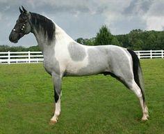 Tennessee Walking Horse stallion, Stuntman's Star Of Magic.