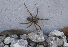 """Exhibit B. Here is the picture of an ordinary wolf spider, which was used to create the fake Angolan Witch Spider image. I like this quote by Tricia Sheeran: """"What scares me more than if this were real, is that there are such gullible people out there… I can't believe Snopes was reduced to having to bother with this obvious BS."""" Here's the link, by the way: http://www.snopes.com/photos/bugs/witchspider.asp"""