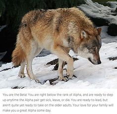 Which rank would you be in a wolf pack? Take the quiz to find out.