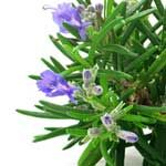Top 10 Rosemary Herb Benefits - http://www.healtharticles101.com/top-10-rosemary-herb-benefits/#more-12057
