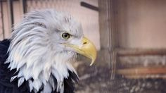 Preview wallpaper bald eagle, eagle, bird, predator, beak 1920x1080
