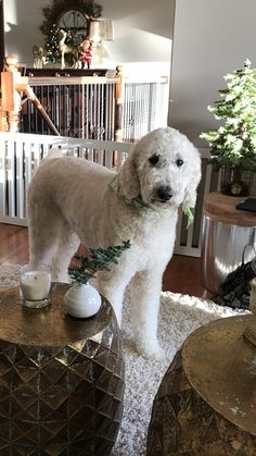 Teddy bear standard poodle! Love this clip!