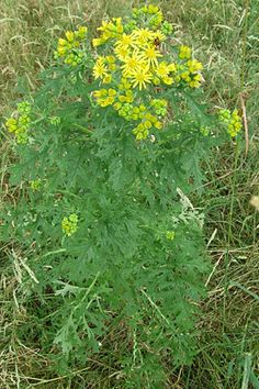 Common ragwort. Grows in the yard. Attracts Cinnabar moths.