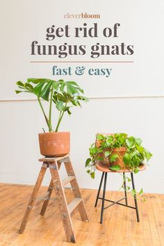 Fungus gnats are single handedly the most annoying house plant pest! As soon as you see one, hundreds will follow, if you don't take action! Learn the best way to get rid of fungus gnats...fast & easy! Clever Bloom #flies #fungusgnats #houseplants Diy Gnat Trap, Gnat Traps, Gnats In House Plants, Fruit Flies In House, How To Get Rid Of Gnats, Get Rid Of Flies, Plant Pests, Plant Bugs, Garden Pests