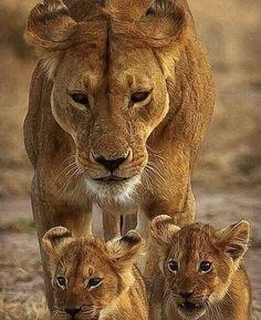 Lions #BigCatFamily