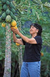 GMO papayas spread their contaminating pollen by wind and seeds by people eating the fruit; Hawaii Island is the only place in the world with high levels of GMO contaminated papayas