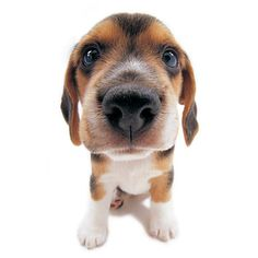 Artlist Collection THE DOG (Beagle) — Move over Snoopy!