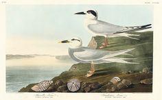 Kunstwerk: 'Forsters Stern' van Birds of America Audubon Prints, Audubon Birds, Vintage Birds, Vintage Wall Art, Vintage Bird Illustration, Birds Of America, Thing 1, John James Audubon, Classic Image