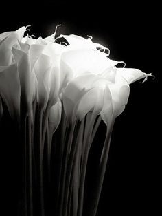 "Robert Mapplethorpe - Calla Lily ""When I work, and in my art, I hold hands with God.""__Robert Mapplethorpe (via barsata) Calla Lillies, Calla Lily, Lilies, Black And White Pictures, Black And White Flowers, Light And Shadow, White Art, Belle Photo, Black And White Photography"