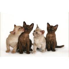Adorable Burmese Kittens