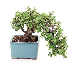 - Jade Bonsai Tree from ; The Jade bonsai is a evergreen succulent the must be grown indoors. The Jade Bonsai is from the Crassula Species and is known to bring good fortune. The trunk of the Jade is thick, with round leaves Jade Bonsai, Succulent Bonsai, Bonsai Plants, Bonsai Garden, Cacti And Succulents, Mini Bonsai, Indoor Bonsai, Indoor Garden, Little Gardens