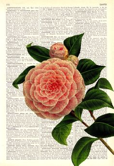 Camellia in soft pink printed on Dictionary Page wall by PRRINT
