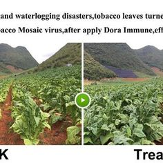 it's field trial on tobacco to control mosaic virus after flooding and waterlogging disaster.if you want to know more about this product,please contact whatsapp:+86-18018160216#tobacco #pesticide #biopesticide #biofertilizer #growyourown #organicgardening #homegrown #greenthumb #mygarden #backyardgarden #garden #urbangardenersrepublic #growsomethinggreen #instagardenlovers #hydrovegan #thehappygardeninglife #gardeningaustralia #lobotany #urbanorganicgardener #gardenactivist #seedsnow #epicga