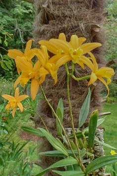 Laelia canariensis