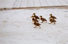 Ducklings marching in formation!