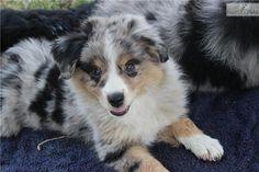 Meet blue merle female a cute Miniature Australian Shepherd puppy for sale for $850. sold