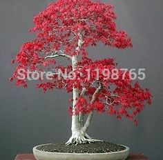 Free shipping .Hot Selling 50pcs American Maple seeds Tree Seeds Bonsai Plants DIY Home Garden Free shipping 49%