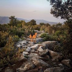 It is ridiculous how much I love this mountain and this dog. . Shot and edited on iPhone only (Lightroom Mobile and Snapseed). #ymittos #great_athens #hikinggreece #ig_greece #in_athens #ongooglemaps #nature_greece #bestnatureshot #fiftyshades_of_nature #pocket_allnature #tv_allnature #tv_landscapes #nature_greece #dogsonadventures #hikingwithdogs #dogsthathike #galleryoflightfeature #jj_lightcatchers #jj_lightfordays #instagood10k #gs10k #justgoshoot #whatisee #visualsoflife…