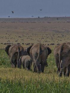 Elefantes por el Masaimara.Kenia.