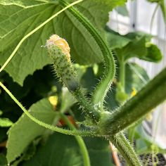 Cucumbers grow well in Aquaponics Systems, but will attract Powdery Mildew. If your Cucumbers get Powdery Mildew, you'll need to spray them daily with 1 to 1/2 cup of Hydrogen Peroxide to 1 Gallon of Water. This combo does not harm your plants & keeps Powdery Mildew in check.