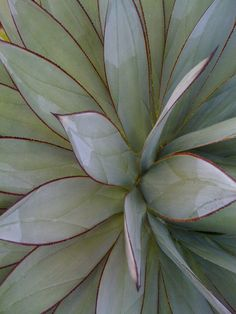 One of my favorite agaves. - @jencjoyous so cool!!! And very pretty