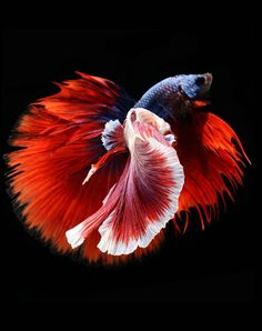 Betta fish. photo: Visarute Angkatavanich.  don't know why but this reminds me of an hibiscus