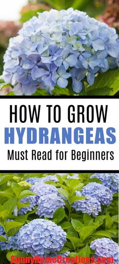 How to grow hydrangeas.  Here are awesome tips and advice on how to care for hydrangeas.  These plants are great to add to your landscape or garden.  The flowers are beautiful when they bloom.  #hydrangeas #flowers #garden #gardening