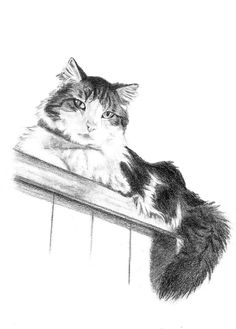 A Hand Drawn Portrait of A Kitty done by artist Genevieve Schlueter. Portraits are sketched in graphite pencil working from the photos her clients provide to her. Commission 1 for yourself at http://www.gensart.net