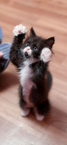 * Please pick me up ! Precious tuxedo kitty