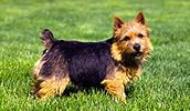 Norwich Terrier breed info,Pictures,Characteristics,Hypoallergenic:Yes Best Hypoallergenic Dogs, Australian Terrier, Norwich Terrier, Terrier Dog Breeds, Dog List, Pictures, Animals, Google, Photos