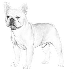 The French Bulldog Breed Standard (illustration).