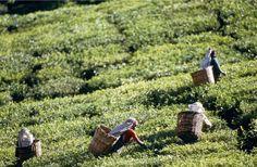 Les plantations de thé, Sri Lanka