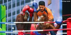 petition: Zoo Forces Orangutans to Box: Demand TripAdvisor Stop Promoting the Abuse!