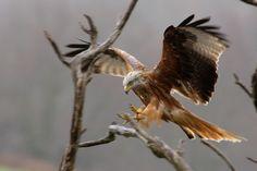 Milan royal Nocturne, Milan Royal, Rapace Diurne, Birds Of Prey, Bald Eagle, Blog, Images, Corse, Eagle