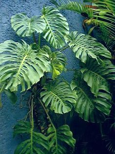 philodendron grown up palm - Google Search