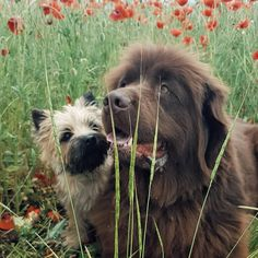Cairn Terriers, Dogs And Puppies, Animals, Large Dogs, Friends, Animales, Animaux, Animal, Animais