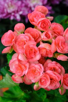 Pink begonia flowers, these are annuals in Michigan, zone 5 Love these begonias-when do they bloom?