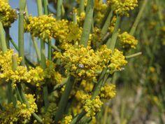 Ephedra fragilis (ginesta borda): flors masculines