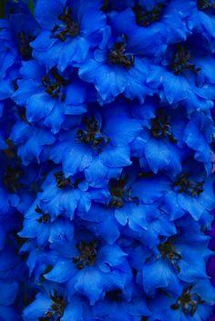 Blue delphiniums by Keartona