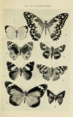 *lepidoptera