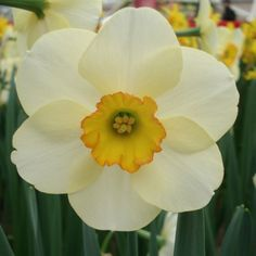 Narcisse+Ringtone pour Betty Promesse de fleurs
