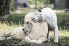Nacen los primeros ligres blancos del mundo, los cuatro felinos más raros del planet