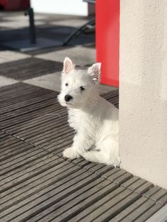 Westie Puppies, Westies, Pet 1, Dog Cat, Animals And Pets, Cute Animals, West Highland White, White Terrier, White Dogs