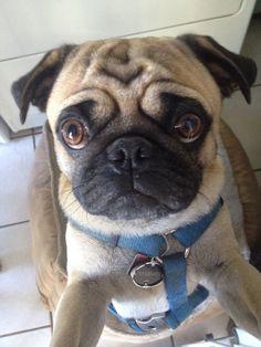 Peppa ( PUG)... Need I say more... Nothing like PUG LOVE.❤️