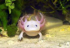 ajolote o salamandra mexicana una de las 28 especies en peligro de extinción